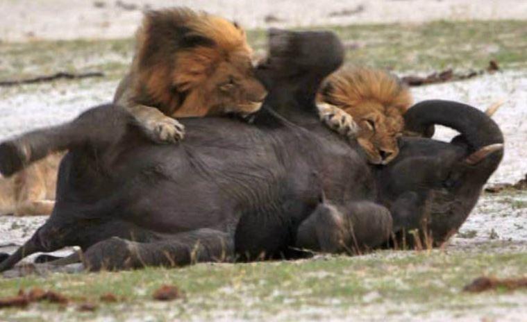 lions-killing-elephant